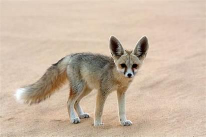 Desert Fennec Fox Animals Arabian Woestijn Sahara