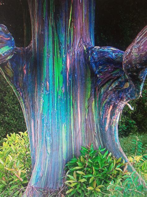 rainbow eucalyptus trees   joan hunter fine art