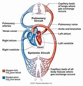 Simple Circulatory System Diagram Labeled   www.pixshark ...