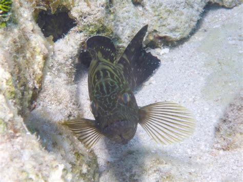 grouper juvenile equator east