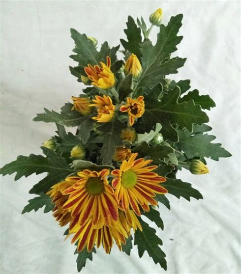 jual tanaman krisan aster blaster red yellow