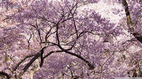 pink cherry blossom tree japan  hd desktop wallpaper