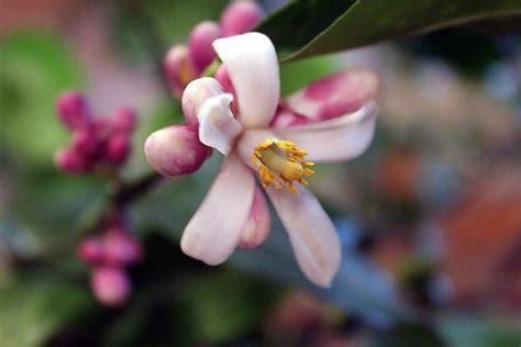 fiori limone limone meyer piante da giardino limone meyer giardino