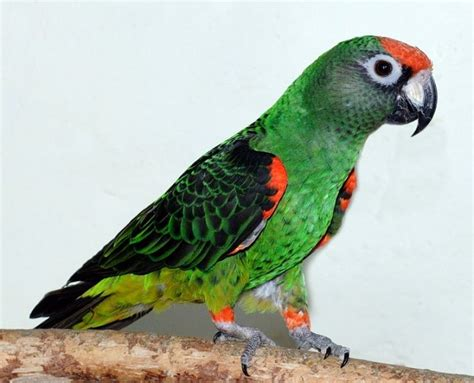 The Jardine's Parrot Is One Of My Favorite Species. These