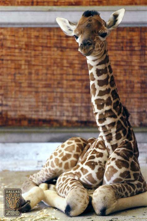 giraffe zoo baby dallas calf giraffes famous animals kipenzi meet word swahili spring loved zooborns dallaszoo sprung wins neck calves