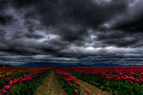 tiptoe through the tulips in washington s skagit tiptoe through the tulips 35 pics