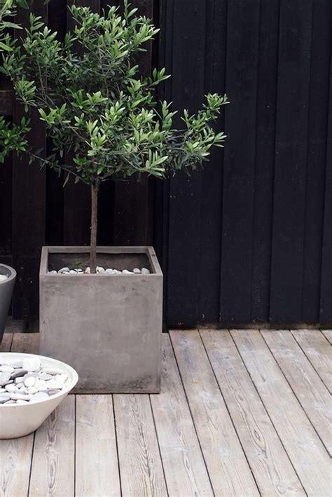 arrosage olivier en pot comment planter un olivier en pot ou en pleine terre