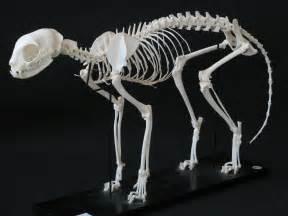 cat bones cat skeleton flickr photo
