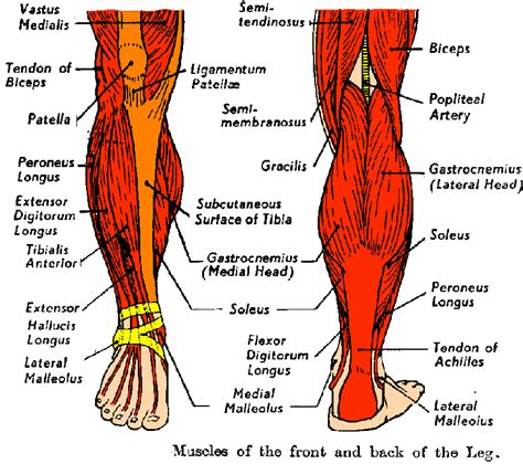 Human anatomy and physiology diagrams legs muscle diagram. Anatomy videos for medical students: Diagram Human Leg Tendons