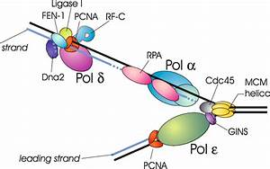 Protein Assembling To Perform Leading And Lagging Strand