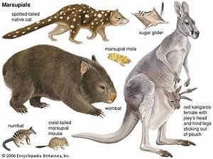 Marsupial | mammal | Britannica.com