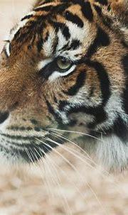 #2639581 / 3840x2469 tiger 4k pc wallpaper download