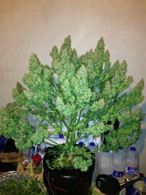 chambre de pousse cannabis la première fois cultiver facilement de l 39 herbe en