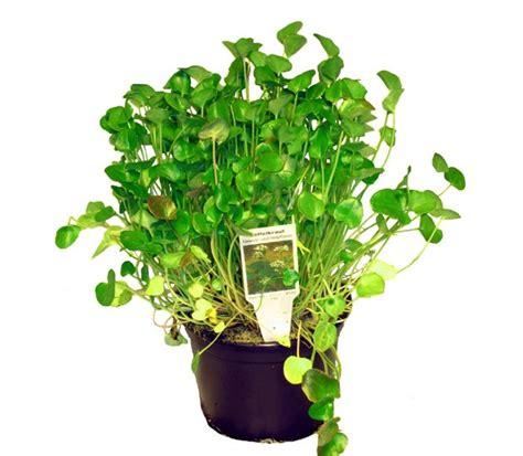 gemüse anbauen hochbeet l 246 ffelkraut lexikon f 252 r kr 228 uter und pflanzen