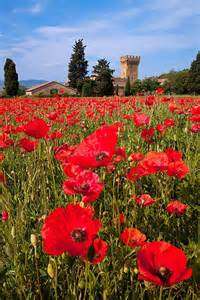 Poppy Field Near Pienza Italy
