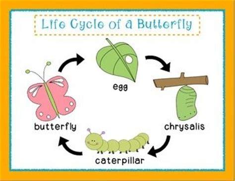 pre kkindergarten life cycle   butterfly butterfly