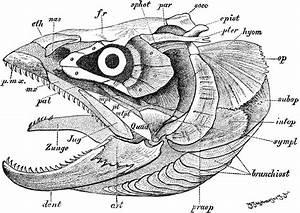 Hake Fish Diagram