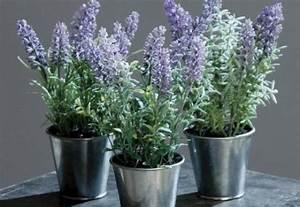 Lavendel Pflanzen Im Topf : lavendel topf g nstig sicher kaufen bei yatego ~ Frokenaadalensverden.com Haus und Dekorationen