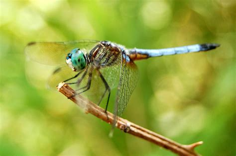 Dragonfly Wallpaper (40 Wallpapers)