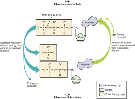 overview  metabolic reactions voer