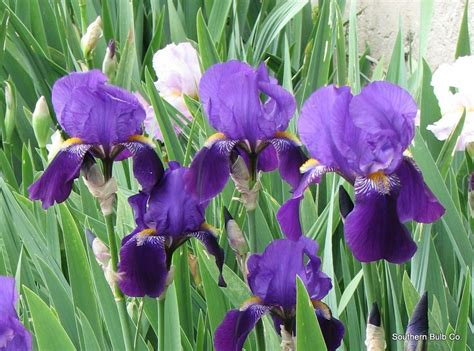 bearded irises iris germanica bearded iris a favorite mid season bloomer must have sun and well drained soil