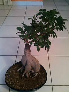 Comment Tailler Un Ficus : aide pour taille ficus ginseng mes premiers bonsai ~ Melissatoandfro.com Idées de Décoration