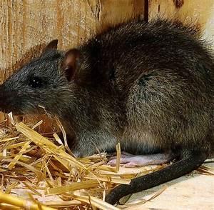 Was Fressen Ratten : nepal ratten fressen pr fungspapiere welt ~ One.caynefoto.club Haus und Dekorationen