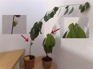 Avocado Pflanze Richtig Schneiden : avocado persea americana anzucht und pflege ~ Lizthompson.info Haus und Dekorationen