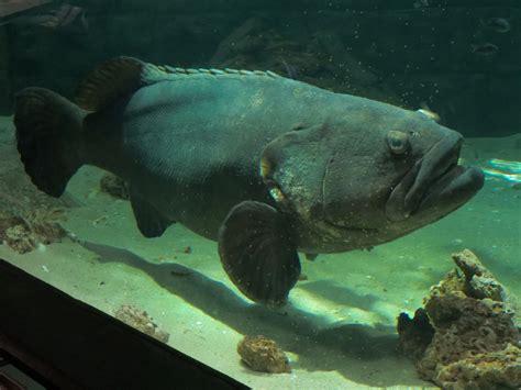 exhibit bays pilings goliath grouper beaches bridge zoochat geomorph feb