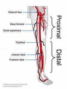 Lower Extremity Vasculature