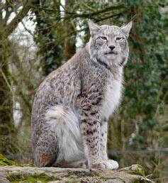 Domestic Cat Or Lost Lynx? On The Trail Of The 'Paris ...