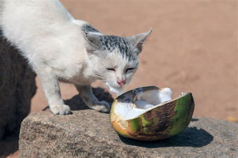 can cats have coconut oil