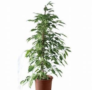 Arbuste D Intérieur : arbuste d int rieur photos de magnolisafleur ~ Premium-room.com Idées de Décoration