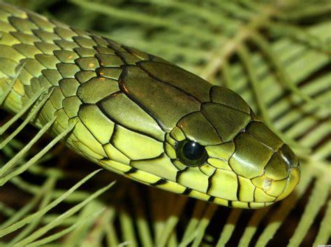 green mamba picture  mnmcarta  snakes photography
