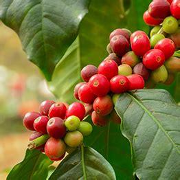 bohnen selbst anbauen rund um die kaffeebohne der bohne in die tasse