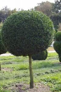 Sträucher Auf Stamm : buxus sempervirens arborescens kugel auf stamm buchsbaum 55 ~ Michelbontemps.com Haus und Dekorationen