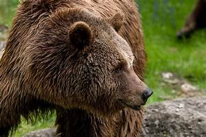 Wildlife Officials Search For Grizzly That Killed West ...  Grizzly