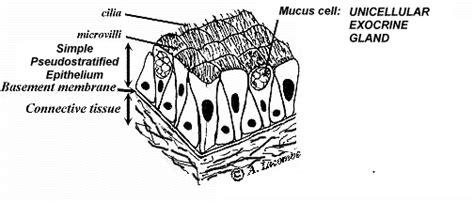 Als Tutorial Histology Epithelium Glandular Epithelia