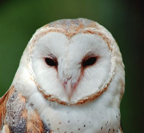 barn owl call inkspired musings a parliament of owls
