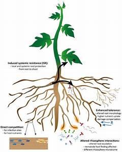 Frontiers | Arbuscular Mycorrhizal Fungi for the ...