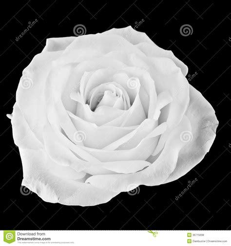 black  white rose stock photo image  floral rose