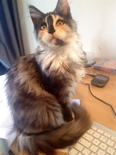 tortie torbie calico maine coon chat maine coon