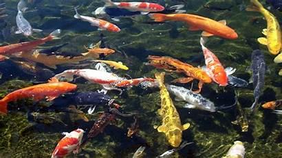 Koi Fish Wallpapers Pond Desktop Laptop Ponds