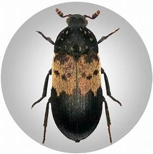 Insekten Im Zimmer Was Tun : kleine runde kafer in der kuche ~ Markanthonyermac.com Haus und Dekorationen