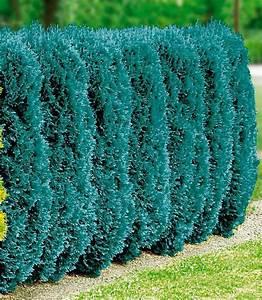Blaue Scheinzypresse Kaufen : hecke blaue scheinzypresse online kaufen otto ~ A.2002-acura-tl-radio.info Haus und Dekorationen