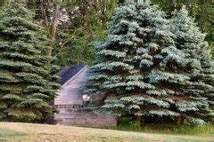 Hanfpalme Braune Blätter : blaufichte bekommt braune nadeln woran kann 39 s liegen ~ Lizthompson.info Haus und Dekorationen