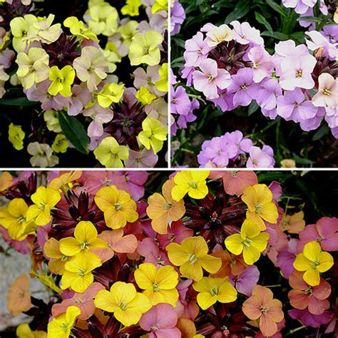 perennial wallflower hardy collection