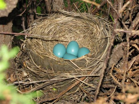 nest with birds pictures bird nest video search engine at search com