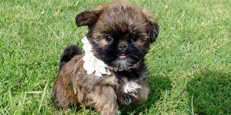 Do Brussels Griffon Shed by Brussels Griffon Information Characteristics Facts Names