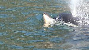 Orca Whale Carries Her Dead Calf Upriver Video